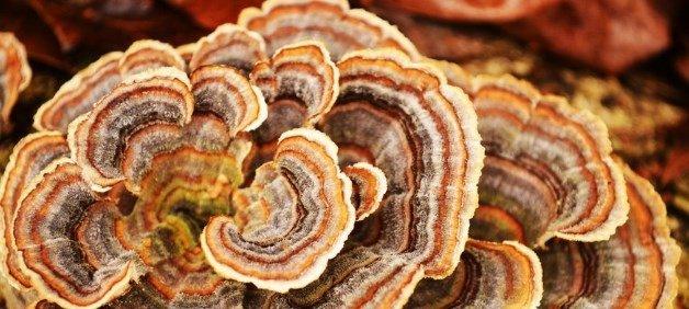 Coriolus versicolor | Trametes versicolor