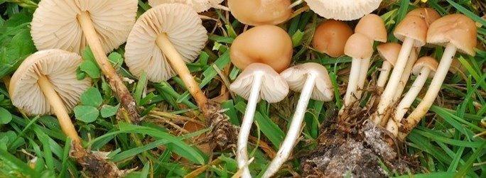 Marasmius Oreades fungo gambasecca