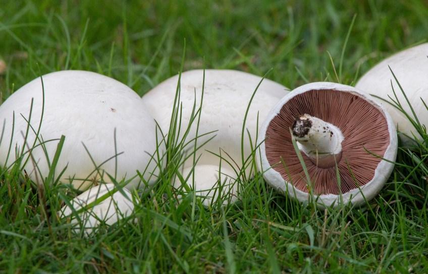 Agaricus Campestris funghi prataioli
