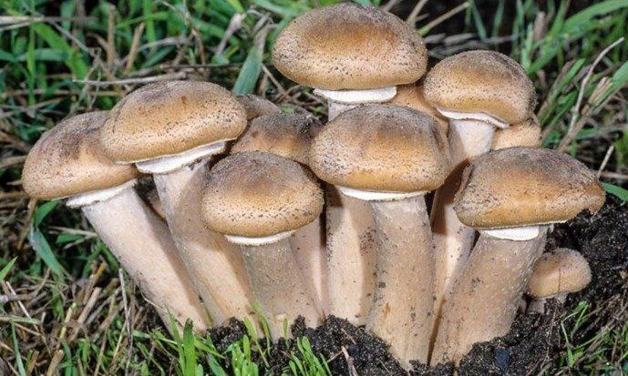 Armillaria Mellea | Fungo Chiodino