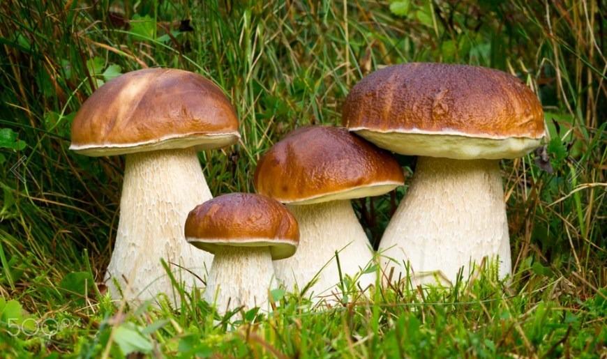 Boletus Edulis funghi porcini