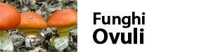 funghi ovuli amanita caesaria
