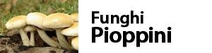 funghi pioppini