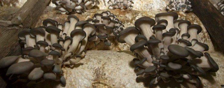 coltivare funghi pleurotus