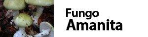 fungo amanita