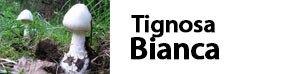 Amanita virosa - Tignosa Bianca
