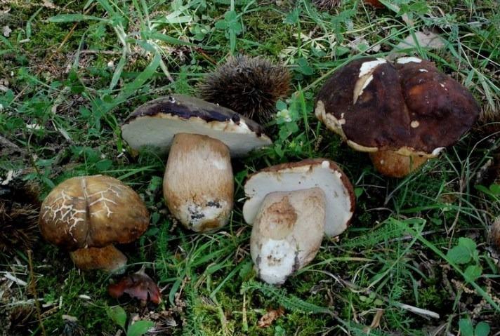 Balle funghi porcini neri