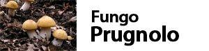 Calocybe gambosa - Fungo Prugnolo