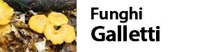 Cantharellus cibarius - Funghi Galletti funghi gallinacci - funghi gallinella