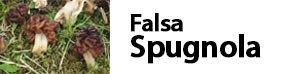 Gyromitra esculenta - Falsa spugnola