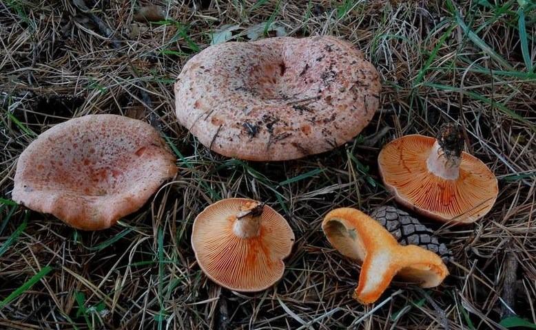 Lactarius deliciosus – Fungo Sanguinello