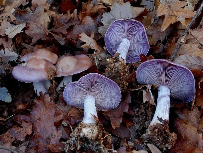 Lepista nuda - Agarico violetto