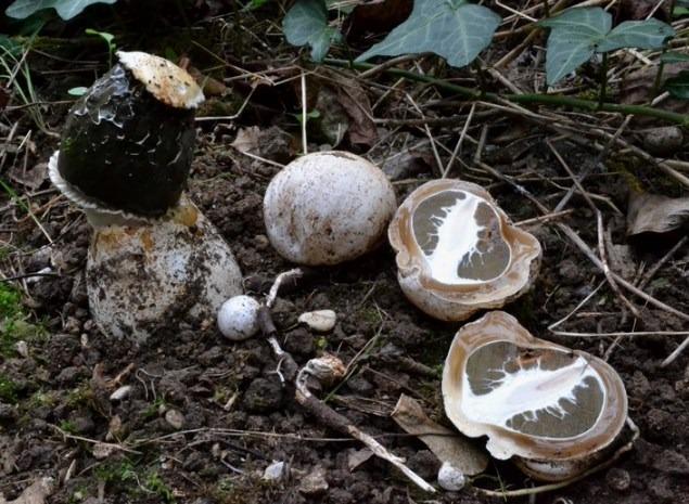 Phallus impudicus - fungo fallo - satirione
