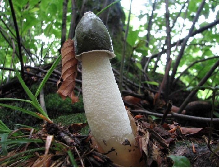 Phallus impudicus – common stinkhorn
