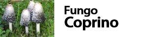 fungo coprinus