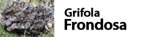Polyporus frondousus Grifola frondosa fungo reale fungo grifone fungo maitake