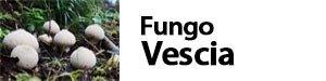 Lycoperdon perlatum - Fungo Vescia