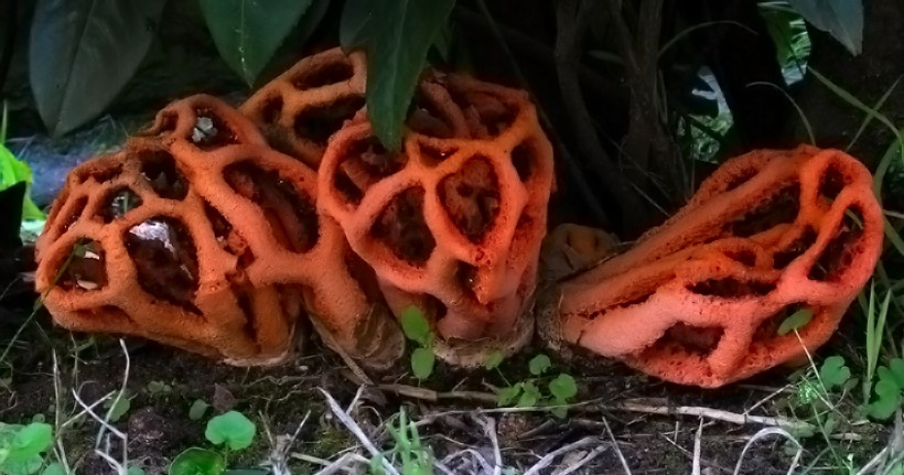 Clathrus ruber - Fungo lanterna