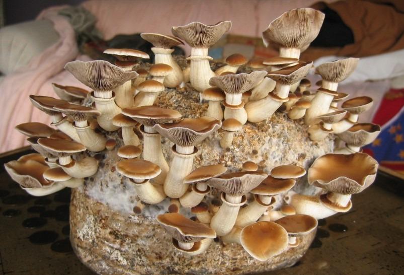 vendita balle funghi pioppini