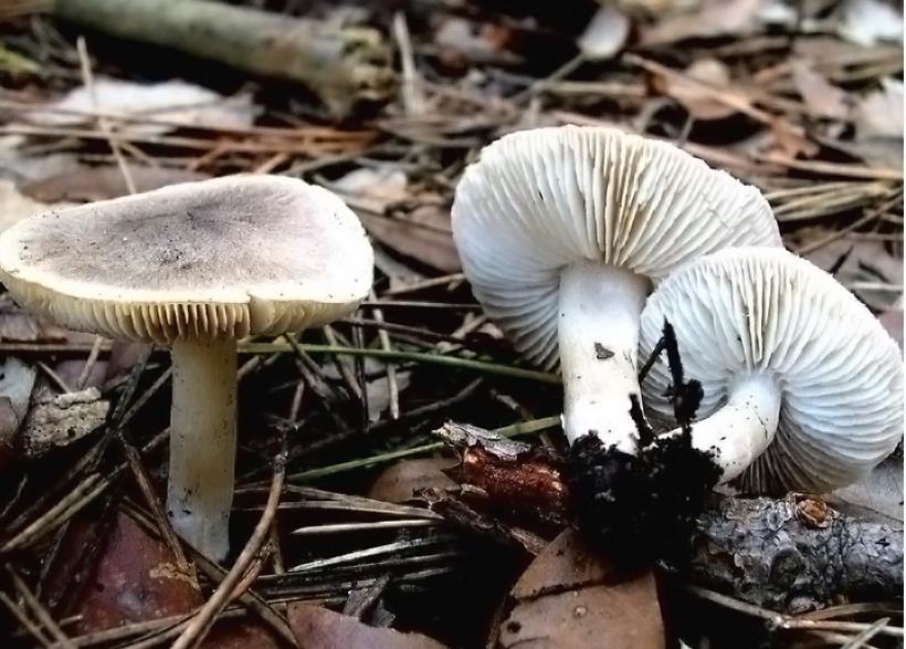 Tricholoma terreum - Moretta